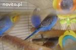 Papugi faliste tęczowe sprzedam.